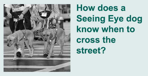 How does a Seeing Eye dog know when to cross the street?  Photograph of two golden retriever Seeing Eye dogs leading their owners across a city street.